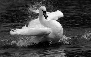 white-swan-swan-lakes-wings-bird-animal-black-and-white-1920x1200