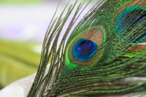 peacock-606653_960_720